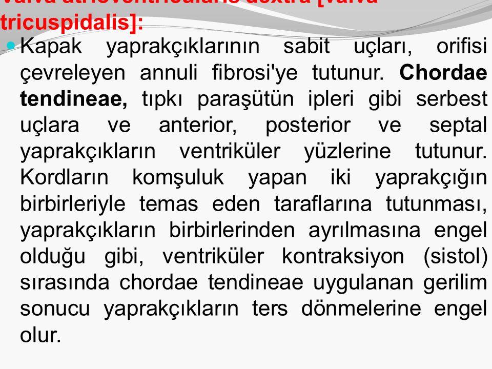 Valva atrioventricularis dextra [valva tricuspidalis]: